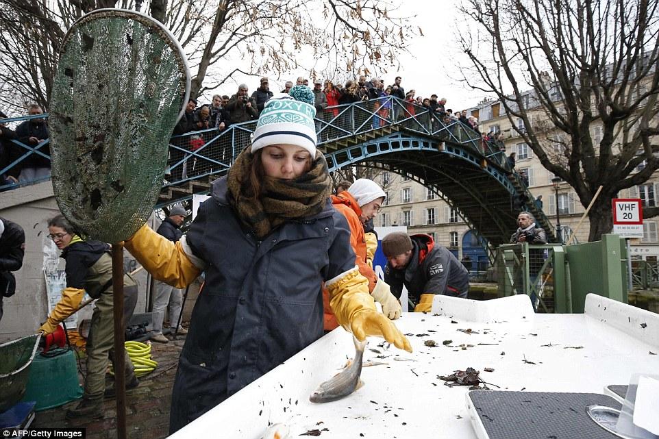 努力工作:一名工人被捲入一月份的天氣中,當他們從聖馬丁運河收集了4.5噸魚時,