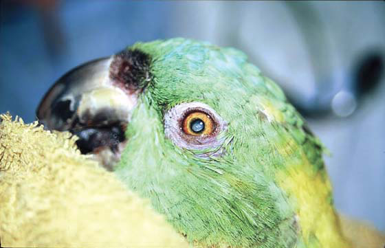 Cataract in an older yellow-naped Amazon. Cataracts may cause behavioral changes related to decreased vision