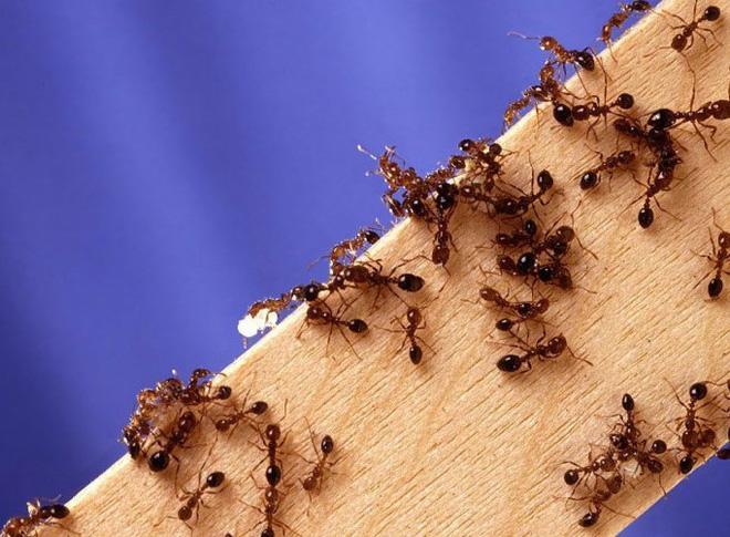 Dịch vụ diệt kiến tại nhà tận gốc, sạch kiến 100%