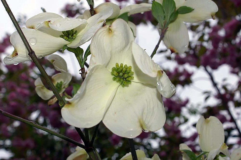 File:Cornus florida Cherokee Princess 6zz.jpg